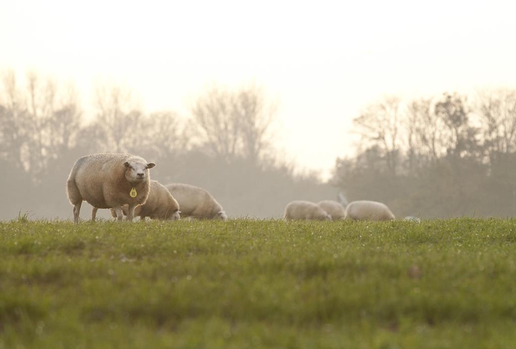 Schapen op Texel | Evalien Weterings